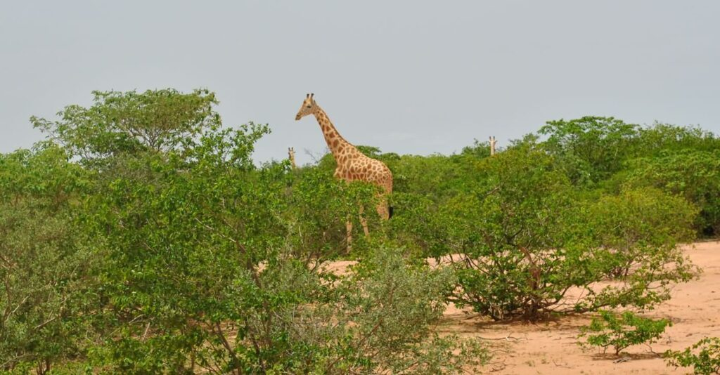 In Niger, in der Nähe der Hauptstadt Niamey, lebt die einzig wilde Giraffenherde, die es in Westafrika noch gibt